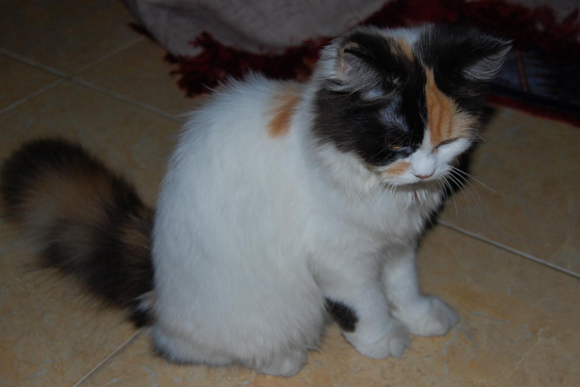 Kucing Ashfarjpg